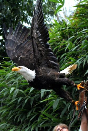 L'envol de l'aigle / Zoo de la Flèche
